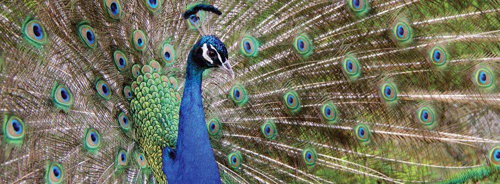 peacock_slide
